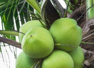 coconut-oil-post-green-coconuts-featured
